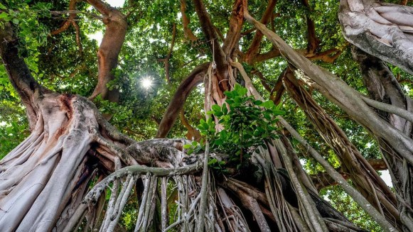 caoutchouc-arbre.jpg
